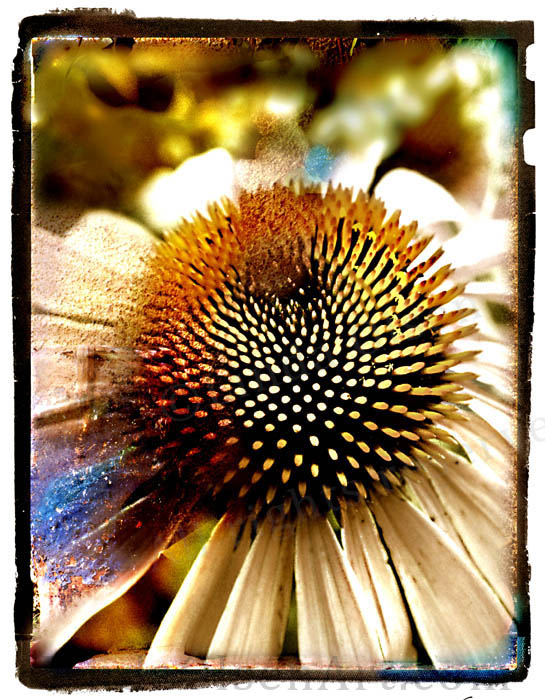 This collage of a cone flower was always one of my favorites because the center almost has the textures of cactus let its more of a daisy. Nature is amazing.