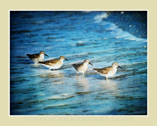 Sanderlings Wading