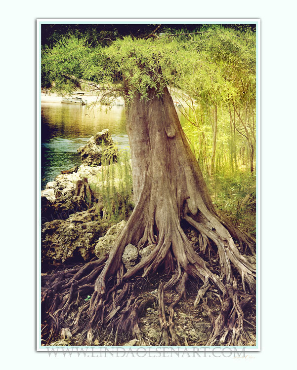 This hand tinted photo of lovely tree roots along the Suwannee.