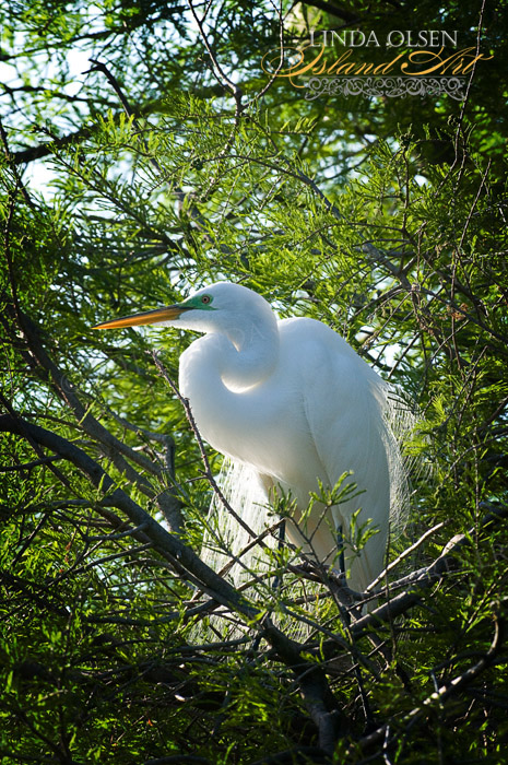 When I captured this lovely egret in the trees, I loved how the light backlit her delicate feathers almost making her glow.
