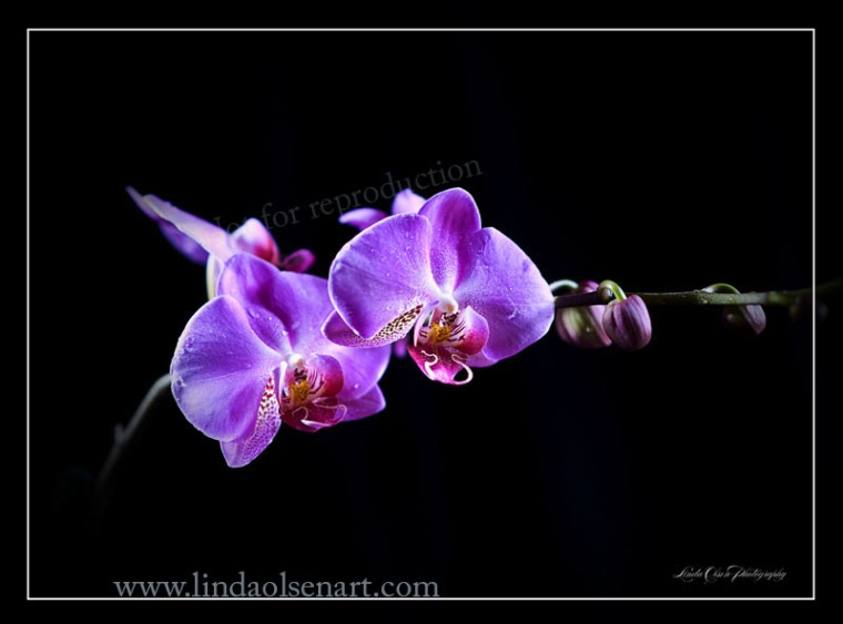 Orchid dew