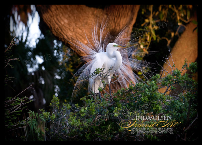 This was one of my favorite images from the wildlife photography seminar. I wish I could have trimmed the twigs in front of my subject but the afternoon setting sun giving a warm hue to the oak in the background really set the white feathers off. ( I did get bird poop spray but that is the price you pay I suppose.)