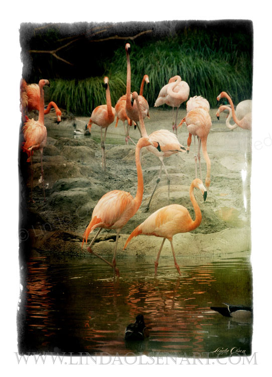 Flamingos are such strange birds. I once saw a bay in the Turks and Caicos where there were thousands of birds.