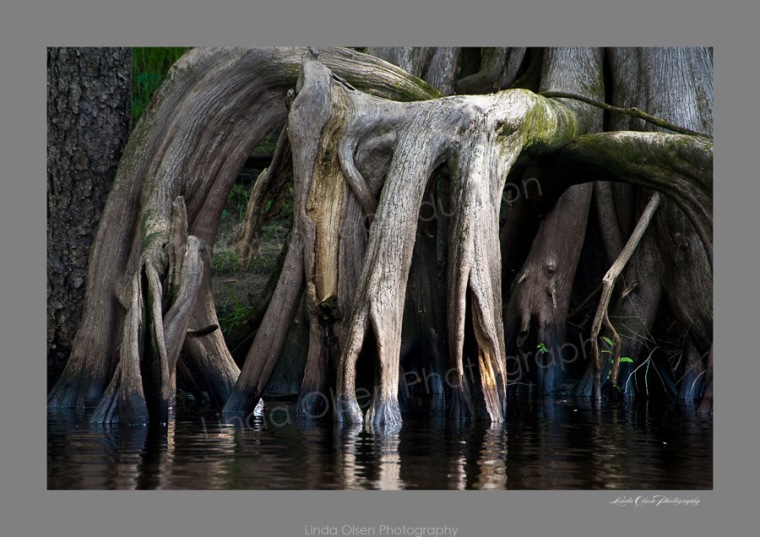 See how many hidden face and body shapes you can find in this image of Cypress tree roots? I was amazed by the shape of an old lady.