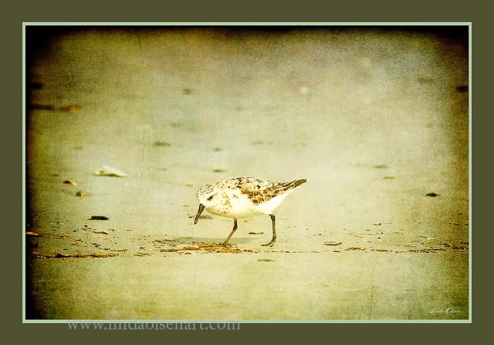 If you have been following my blog, you may have noticed that I adore sand pipers. I tinted this photograph.