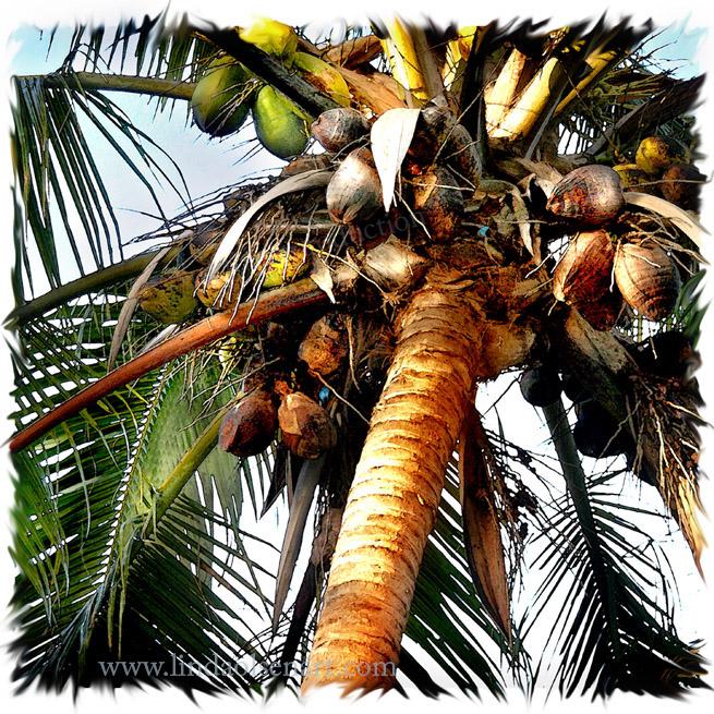 Cocoanuts Square