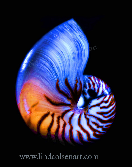 Nautilus topaz