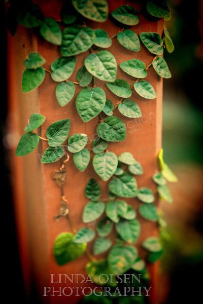 ivy lomo
