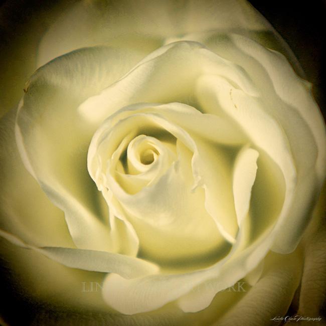 rose wrap lomo
