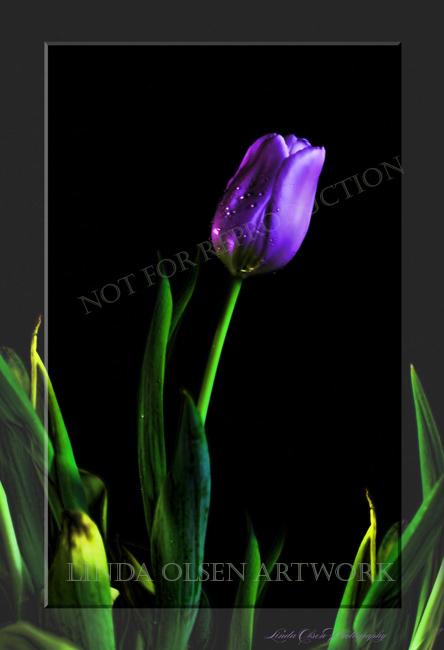Tulip purple b