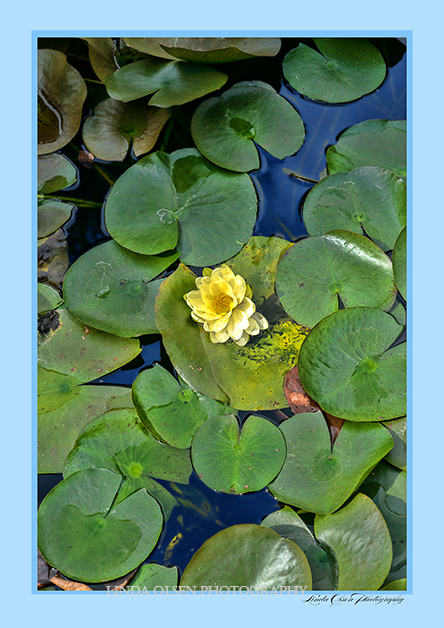 I photographed this while visiting a Butterfly Rainforest in Gainsville, FL. The graphic design and placement of the lilypads were so pretty.