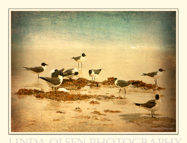 Gulls with Kelp