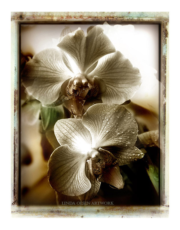orchids w dew
