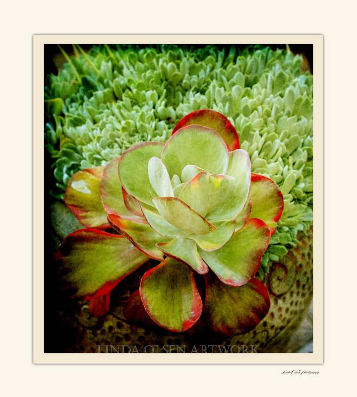 Luann Succulent