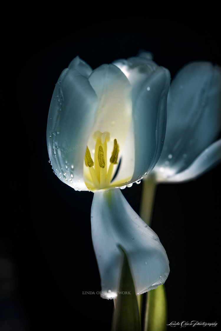 Night tulip blue