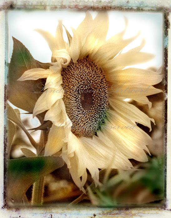 sunflower sepiajpg