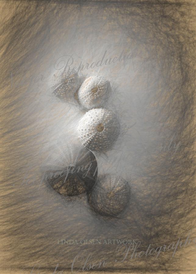 Urchin sketch