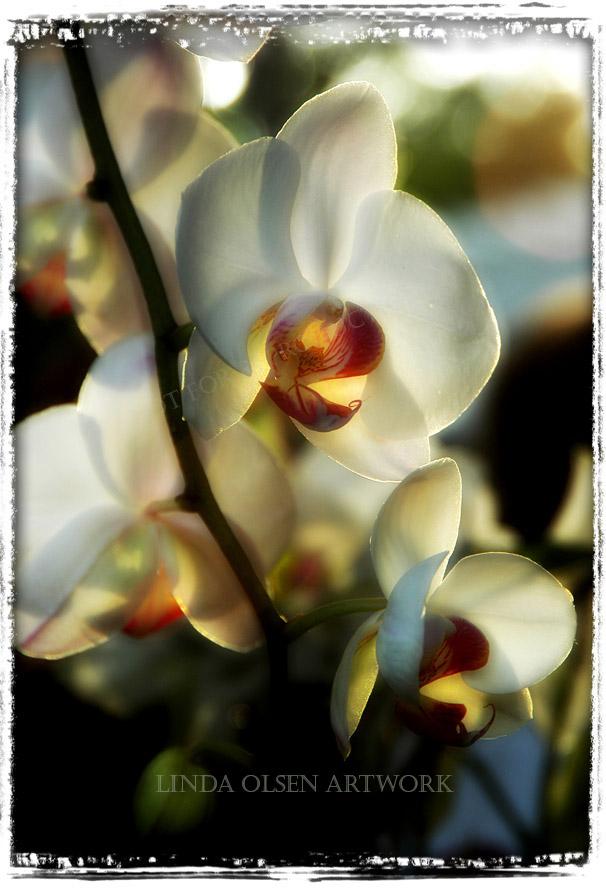 orchid edges254