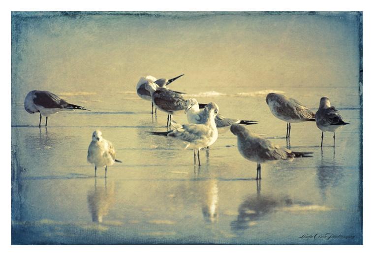 seagulls-preening