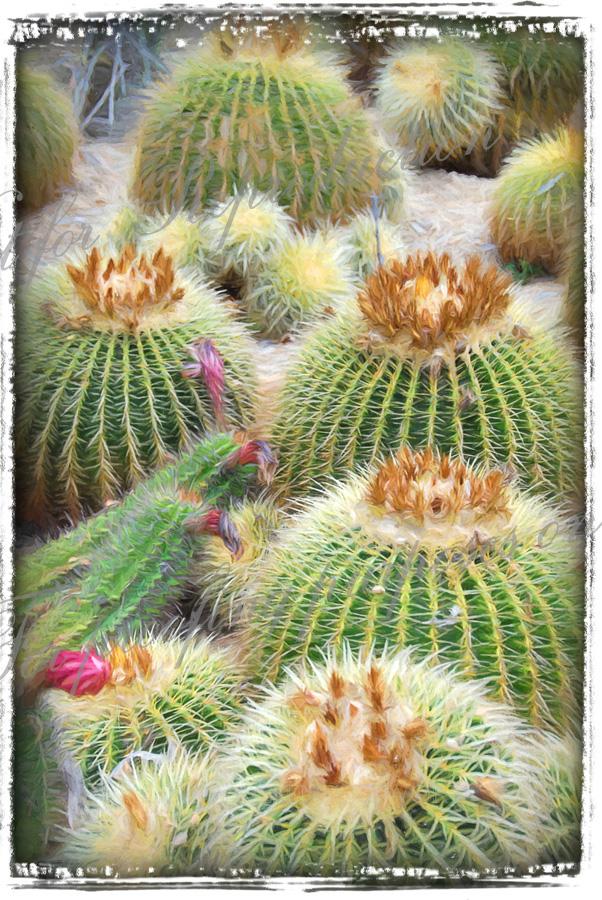 cactus-blooms-fr