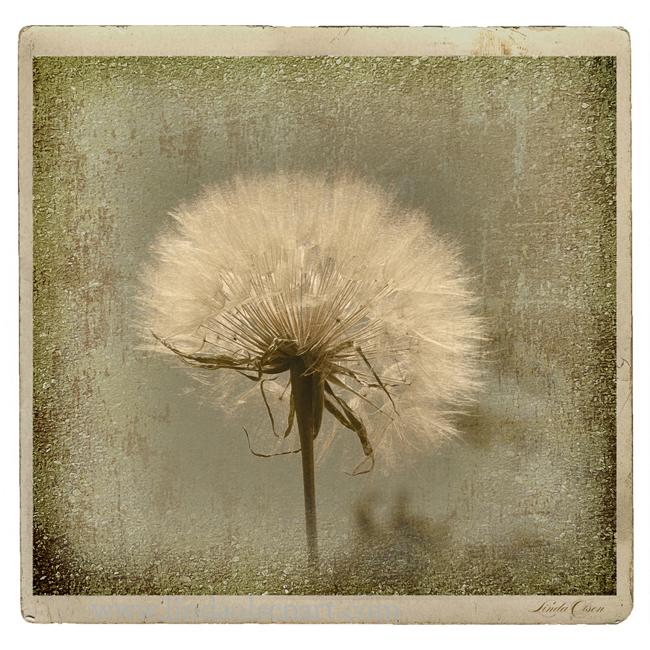 large-dandelion-rustica-x