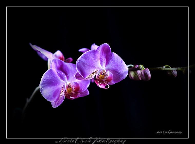 orchid-dew