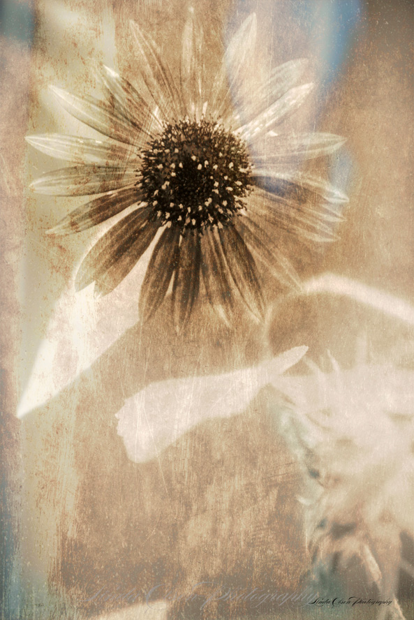 sunflower-antique