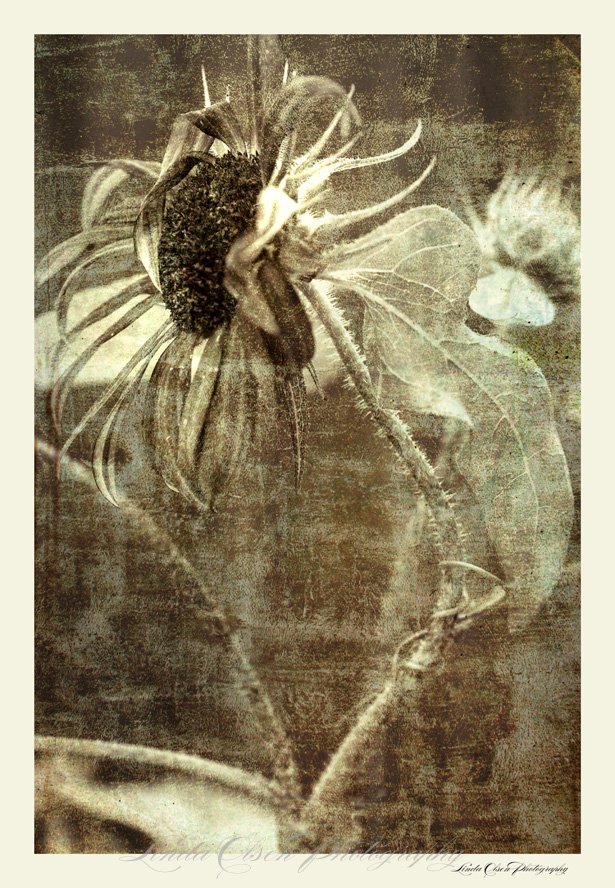 sunflower-bending