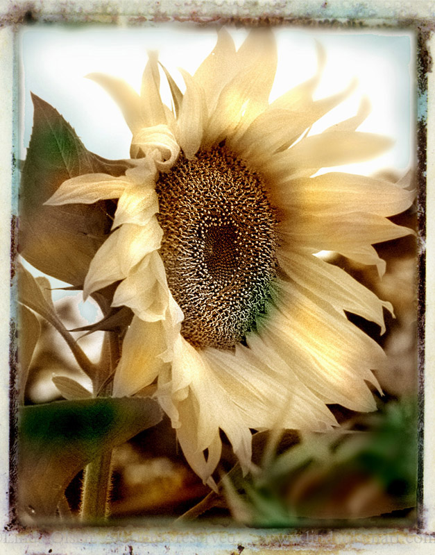 sunflower-face